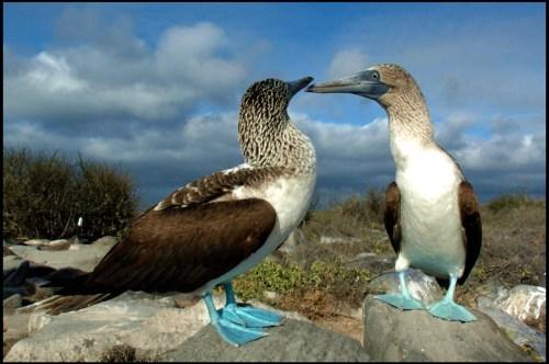 piqueros-patas-azules