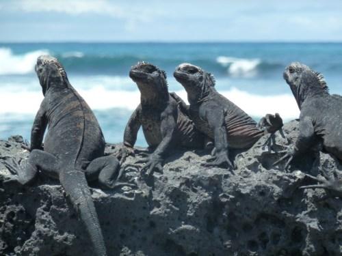 tortuga-bay iguanas