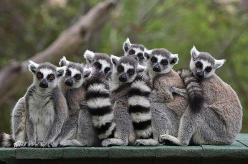 una de las muchas especies de Lemures de Madagascar