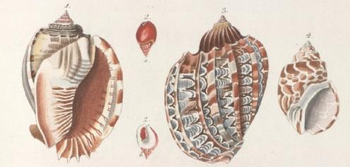Lámina de malacología S. XVIII