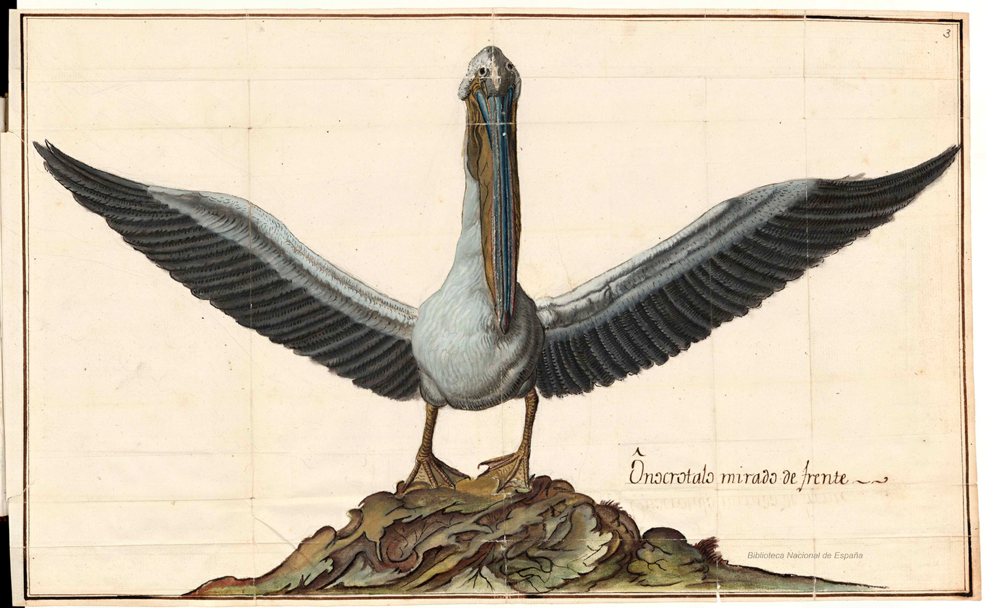 Pelicano.jpg