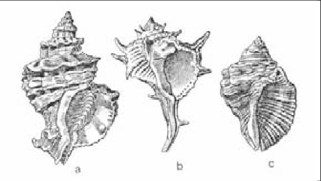 Tipos-de-moluscos-de-los-que-se-extrae-la-purpura-Murex-trunculus-Murex-brandaris-y_W640