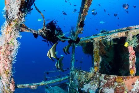 27768375-batfish-y-otra-enjambre-de-peces-tropicales-alrededor-de-la-zona-del-puente-de-un-naufragio-subacuátic